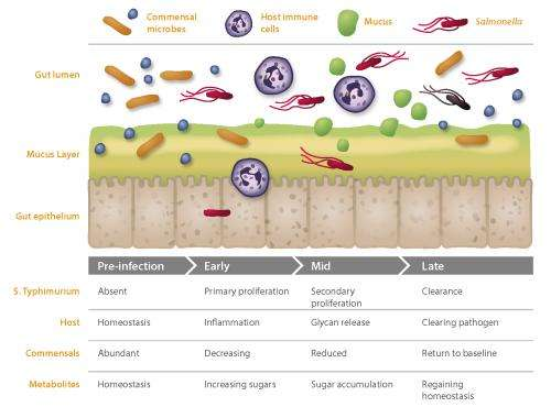 Salmonella infection is a battle between good and bad bacteria in the gut