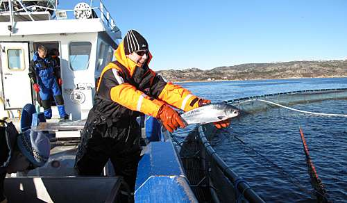 Generating knowledge about how escaped salmon coexist with wild fish