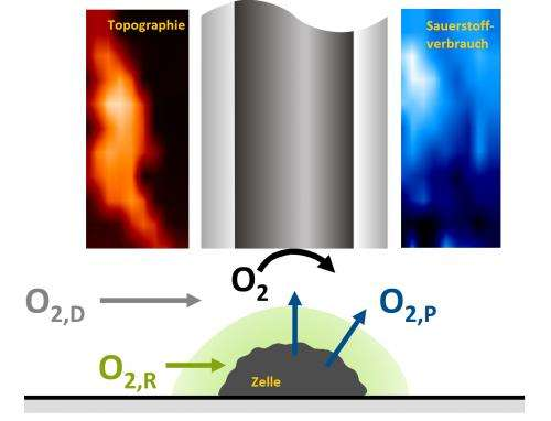 Scanning electrochemical microscopy decisively optimised: Researchers measure oxygen consumption of individual cells