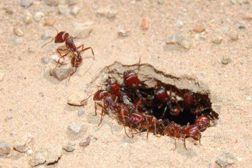 Scientist uncovers the reproductive workings of a harvester ant dynasty