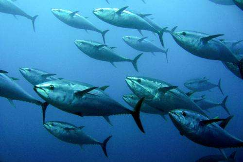 Scientist uses Fukushima radiation to reveal swimming secrets of Pacific bluefin tuna