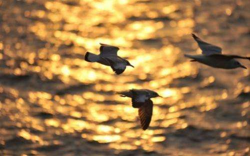 Seagulls fly over the Arabian Sea during sunset, in Mumbai on December 20, 2010