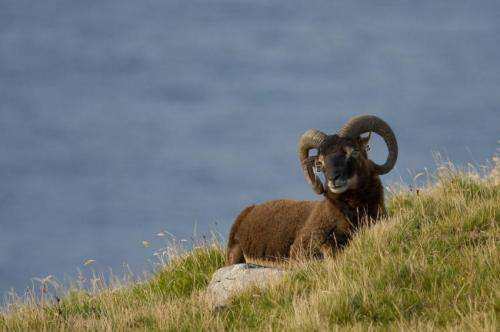 Researchers unlock genetic twist in differences in horn size with sheep