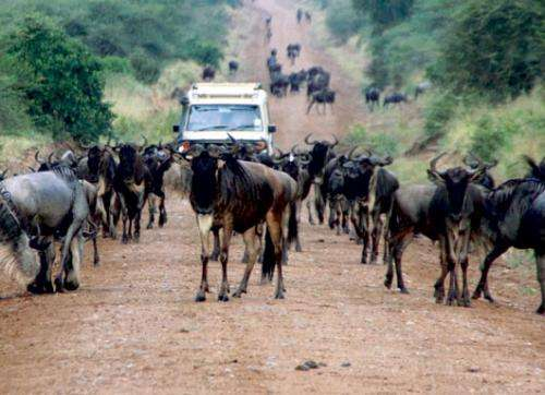 Serengeti's animals under pressure