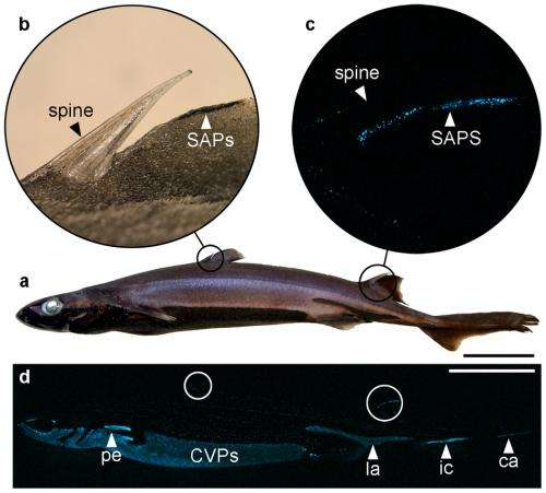 Shark found to have bioluminescence on both dorsal spine and belly