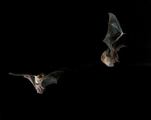 Shifts in physiological mechanisms let male bats balance the need to feed and the urge to breed