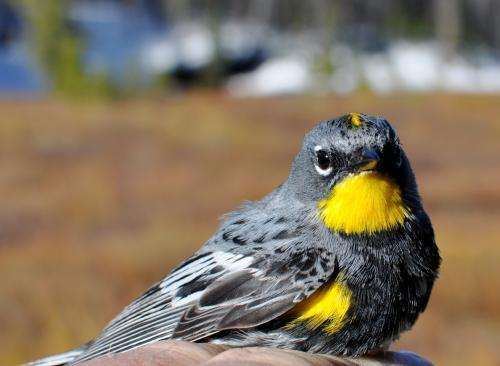 Songbirds may have 'borrowed' DNA to fuel migration