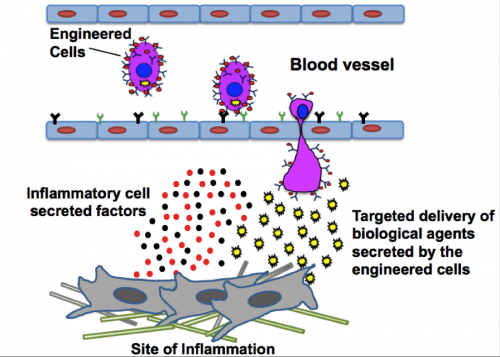 Stem cells engineered to become targeted drug factories