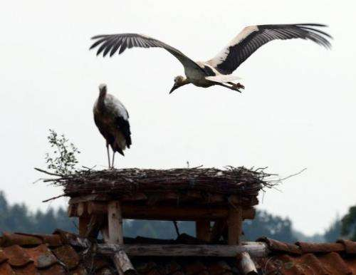 Storks sit in their nests in Zywkowo village, northern Poland on August 8, 2013