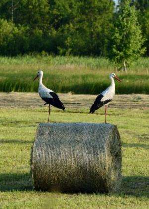 Storks stand on a straw bale near Warsaw on June 20, 2013