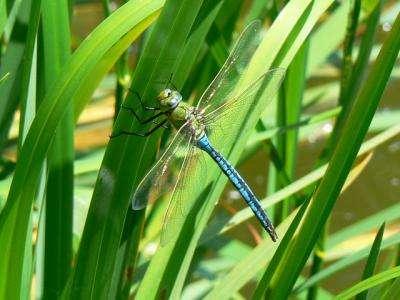 Study of dragonfly prey detection at MBL wins PNAS Cozzarelli Prize