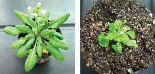 Subset of short genes hidden inside plant genomes may be important in setting plant growth patterns