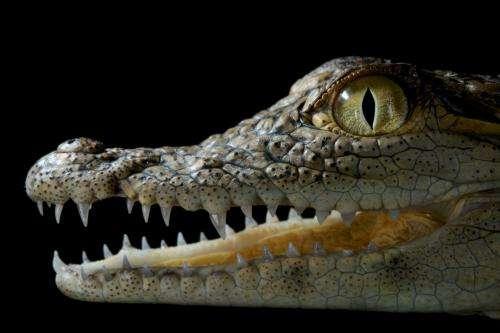 Supersense: It's a snap for crocs