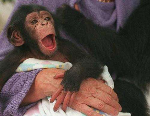 Tammy, a one-month old chimpanzee, in Cape Town on March 2, 2000