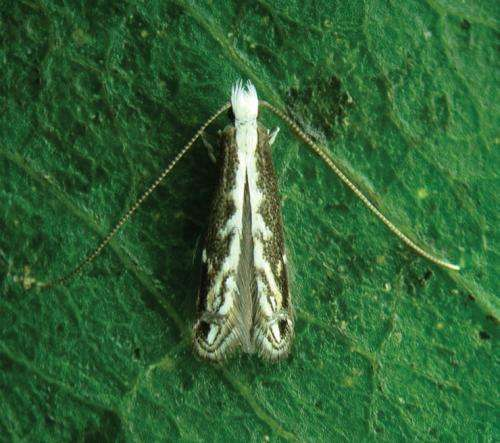 The exciting life cycle of a new Brazilian leaf miner