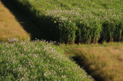 The first decade: Team reports on US trials of bioenergy grasses