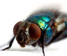 The grim trail of bacteria left by flies in hot weather is revealed