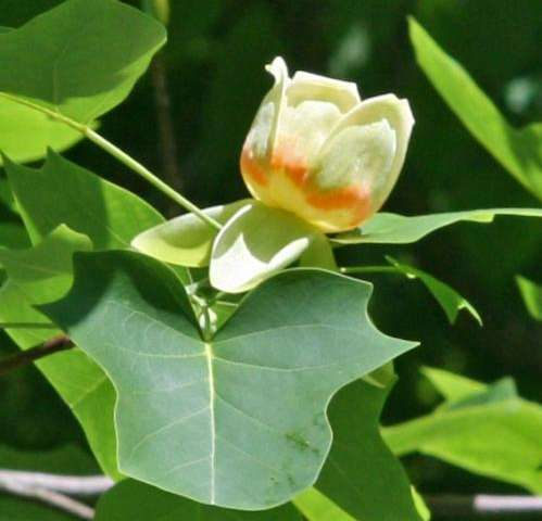 The tulip tree reveals mitochondrial genome of ancestral flowering plant