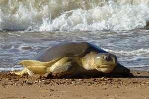 Threatened flatback sea turtle (Natator depressus) returning to nest in the Pilbara