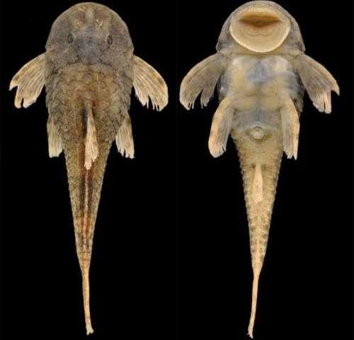 Tiny new catfish species found in Rio Paraíba do Sul basin, Brazil