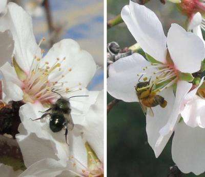 Two new studies show why biodiversity is important for pollination services in California almond