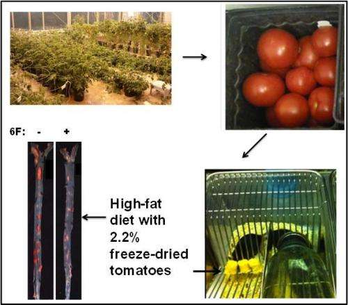 UCLA researchers create tomatoes that mimic actions of good cholesterol