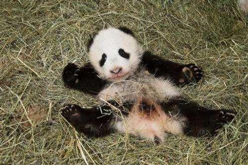 Vienna's new baby panda, seen on November 26, 2013, will be named Fu Bao, or Happy Leopard in Mandarin, the city's Schoenbrunn Z