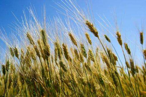 Wheat in a field near Tioga, North Dakota on August 19, 2013