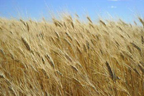 Wheat ready for harvest is seen on September 29, 2010, near Tioga, North Dakota