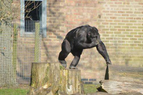 The ultimate chimp challenge: Zoo chimpanzees get feel-good factor from brain teaser