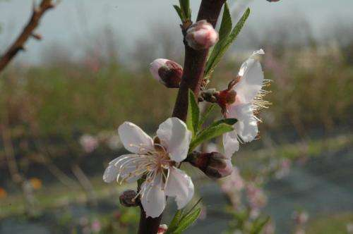 White Delight: New peach varieties released for warmer climates