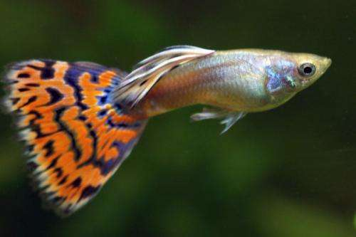 Why guppies have genital claws