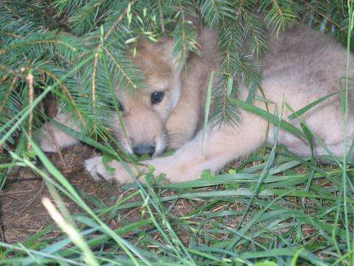 Why wolves are forever wild, but dogs can be tamed