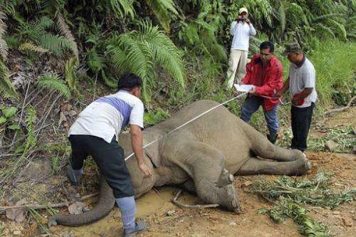 Wildlife officials measure a dead pygmy elephant in the Gunung Rara Forest Reserve, in Malaysia, Januray 29, 2013