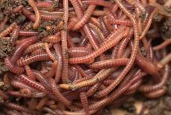 Worms may shed light on human ability to handle chronic stress