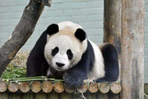 Yang Guang (Sunshine), a giant male panda, is shown at Edinburgh Zoo, on August 14, 2012