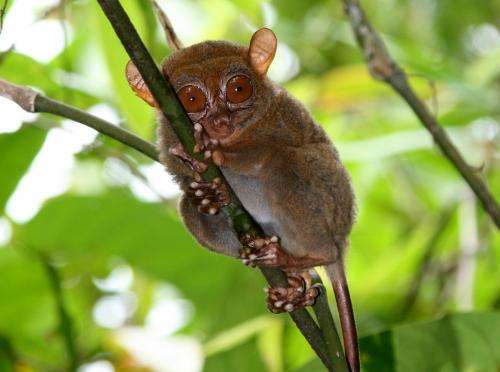 Tarsiers' bulging eyes shed light on evolution of human vision
