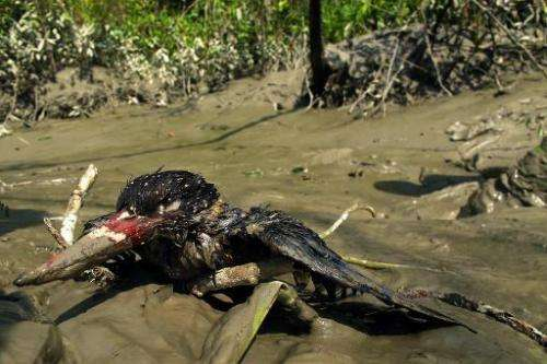 A bird covered in oil lies on the banks of Bangladesh's Shela River after an oil-tanker carrying 350,000 litres of furnace oil c