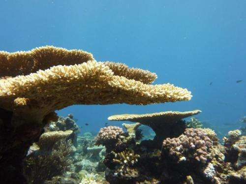 A glimmer of hope for corals as baby reef builders cope with acidifying oceans