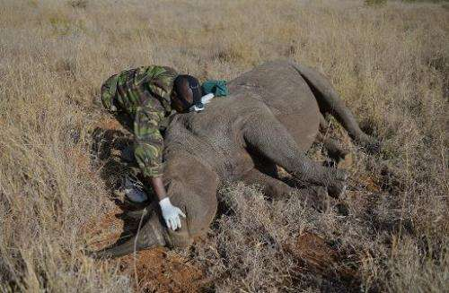 A Kenya Wildlife Services vet approaches a wild male black rhino named Sambu after it was tranquilized in Lewa conservancy on Au