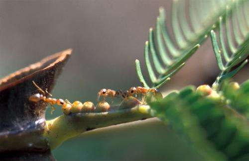 Ants protect acacia plants against pathogens
