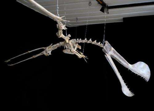 "A replica of the fossil of a Pterosaur of the ""Tropeognathus Mesembrinus"" species is displayed at the National Museum"