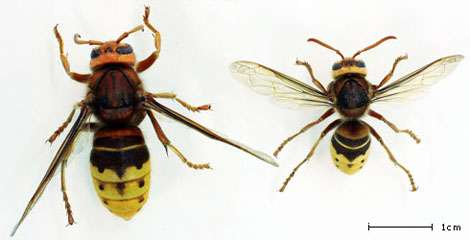 Asian hornet hasn't yet spread from France to the U.K.