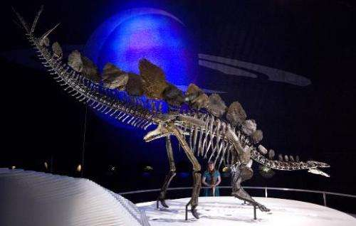 A staff member poses next to the world's most complete Stegosaurus skeleton at the Natural History Museum in London on December