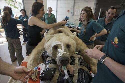Bear in Israel undergoes surgery to repair disc