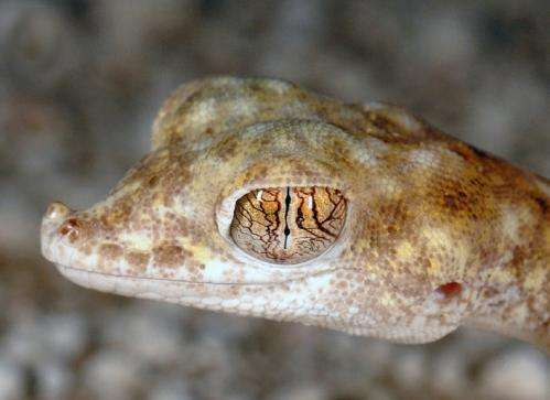 Closing the gap: Extreme desert gecko spotted on salt-flats in central Oman