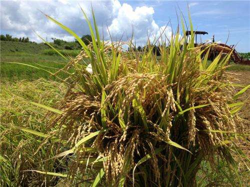 Combating obesity with new Okinawan rice