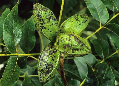 Compound from bacteria could be useful against pecan scab