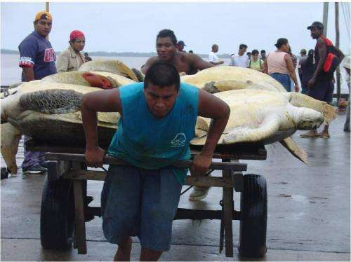 Declining catch rates in Caribbean green turtle fishery may be result of overfishing