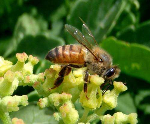 East African honeybees are safe from invasive pests… for now